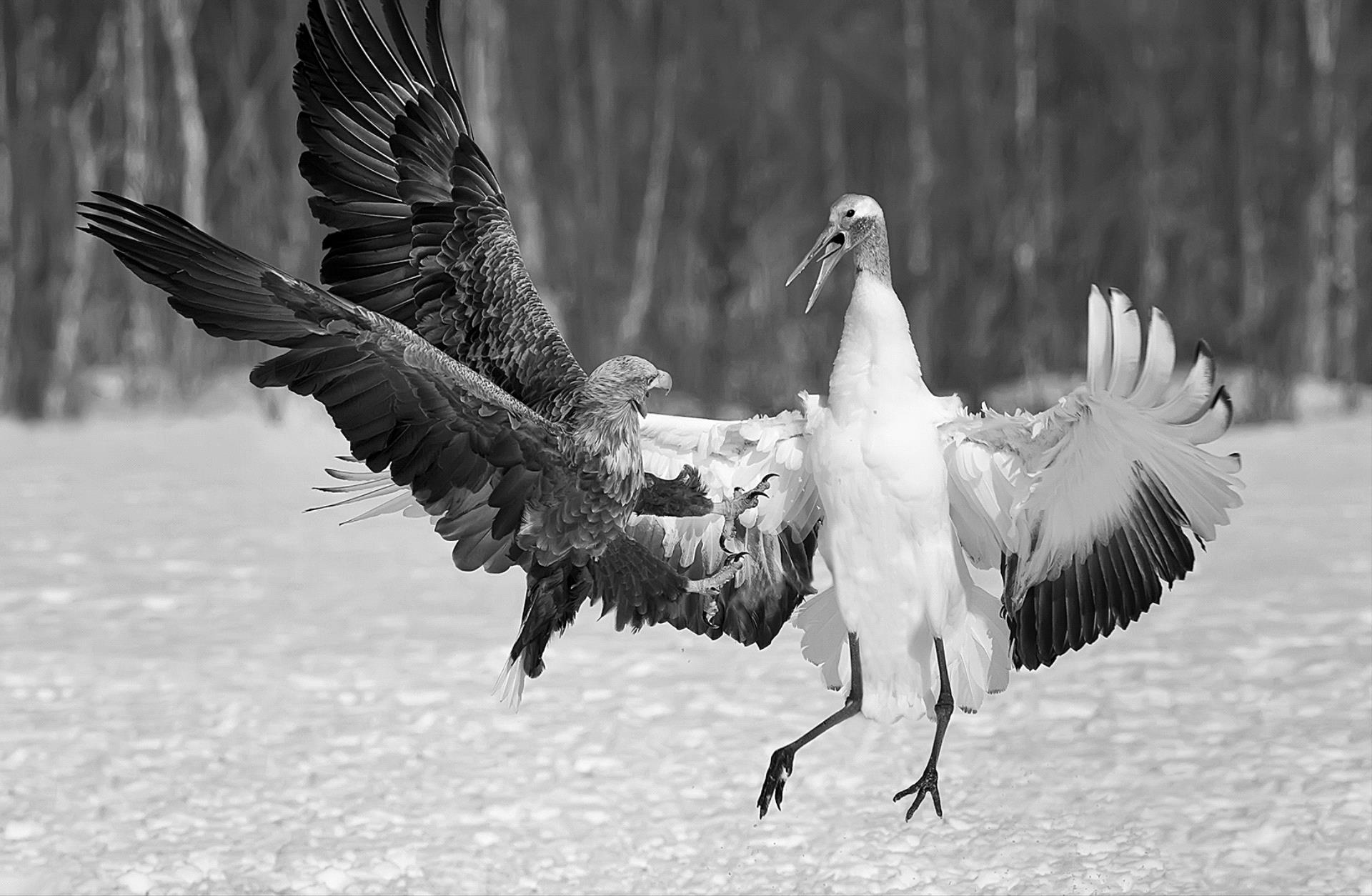 DIPA Merit Award - Phillip Kwan (Canada)  White-Tailed Eagle And Crane Bw