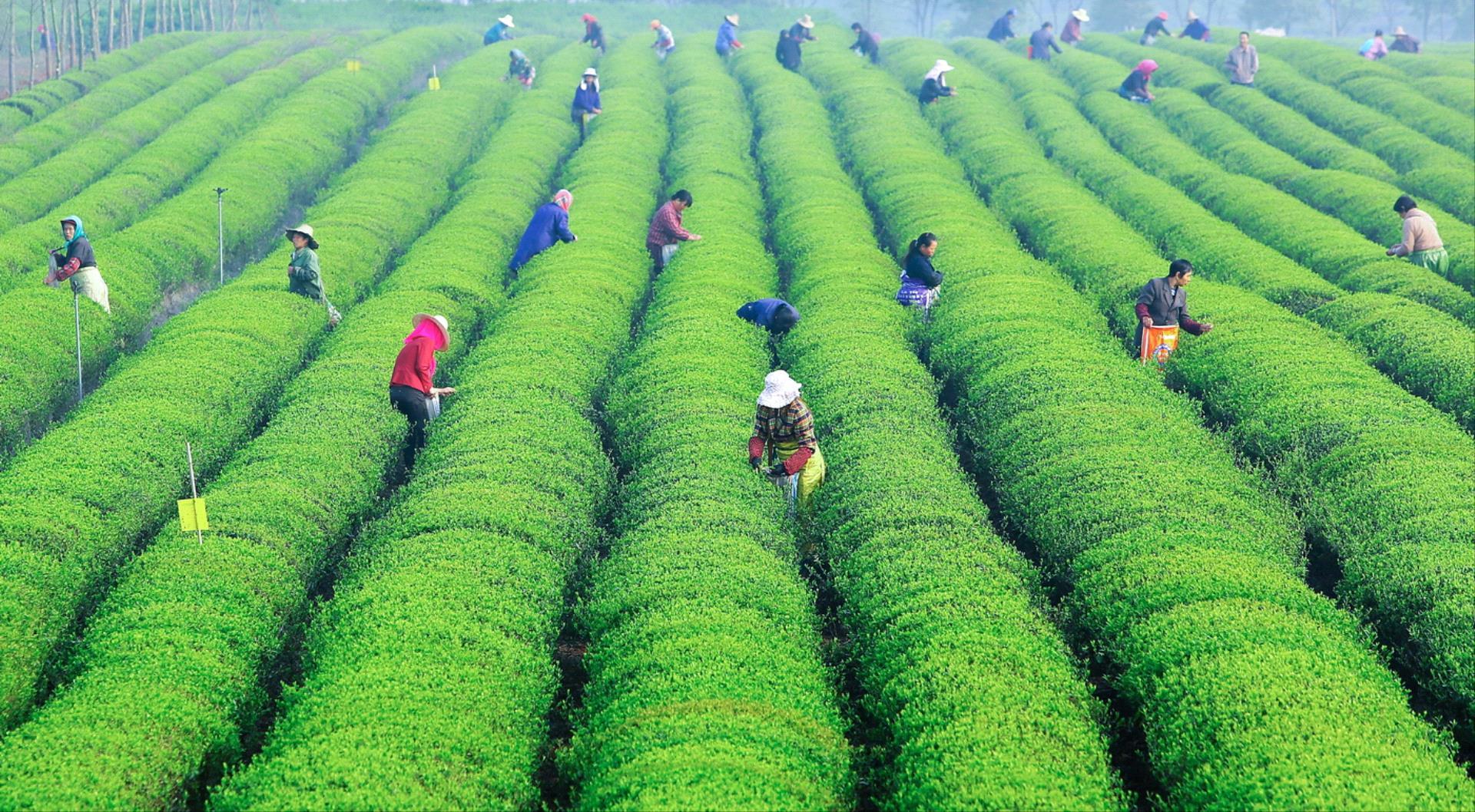 DIPA Merit Award - Guorong Hu (China)  Tea Garden Busy