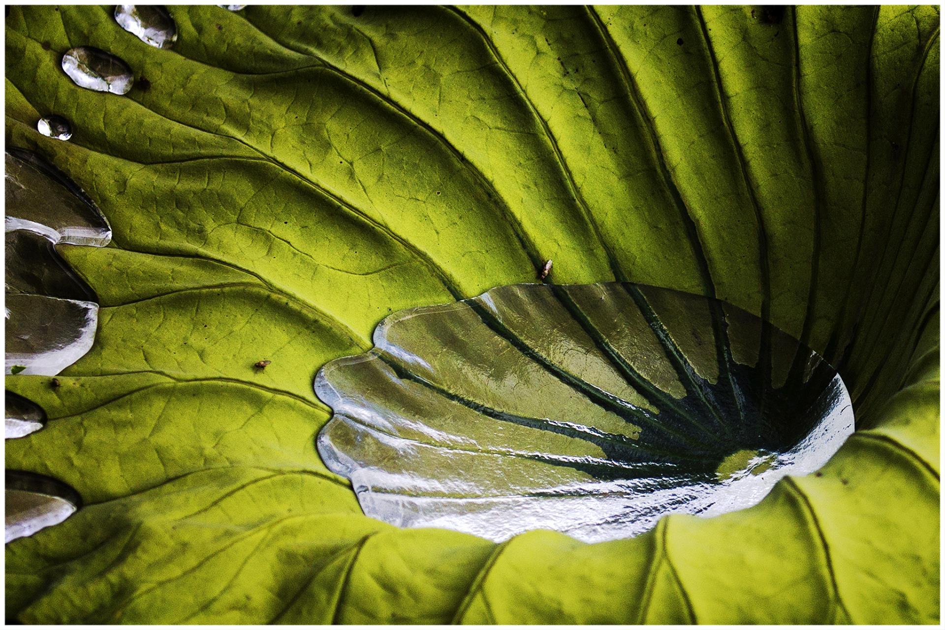 PhotoVivo Honor Mention - Yan Tsang (USA)  Water Drops On A Lotus Leaf