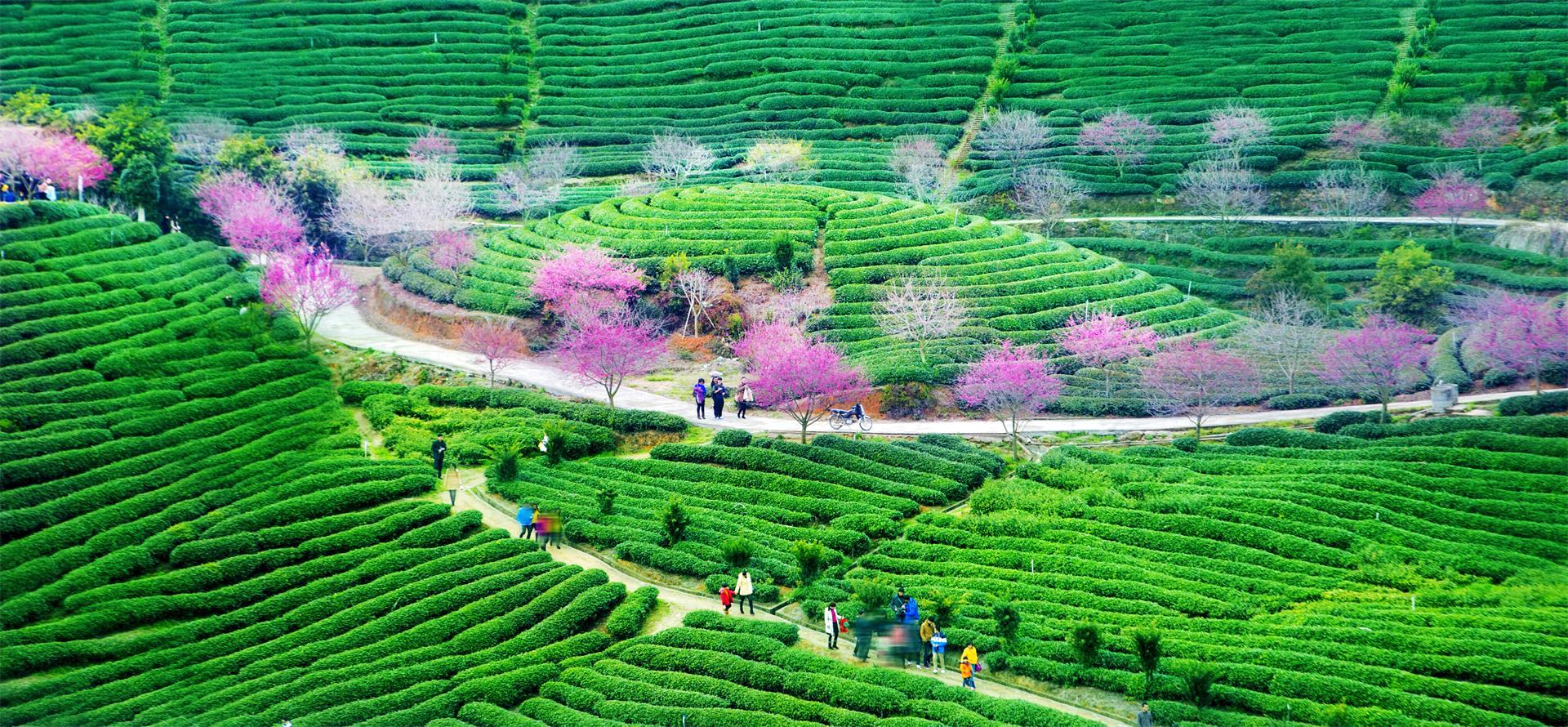 PhotoVivo Honor Mention - Jing Lai (China)  Cherry Blossoms In Tea Plantation