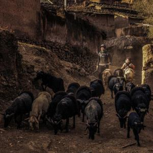 APAS Gold Medal - Desheng Xu (China)  Sheepherder