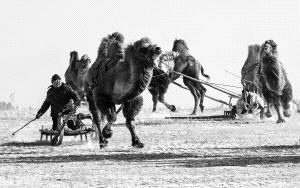 DIPC Bronze Medal - Phillip Kwan (Canada) <br /> Camel Race 72 Bw