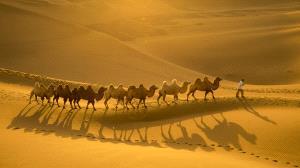 PSA HM Ribbons - Baomin Lu (China)  Desert Camels