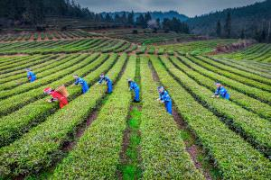 DIPC Merit Award e-certificate - Yong Xue (China) <br /> Pick Tea