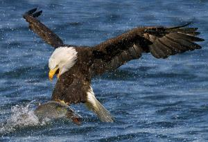 DIPC Merit Award e-certificate - Dorothy C. M. Chan (Canada) <br /> Bald Eagle Catching Fish