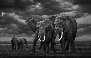 PhotoVivo Silver Medal - Youshu Hu (China)  African Elephants
