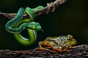DIPC Merit Award e-certificate - Foo Say Boon (Malaysia) <br /> Snake With Prey 2